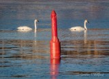 Two Swans & Red Channel Marker P1080156