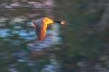 Goose In Flight At Sunrise P1080354.6