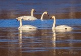 Four Swans Aswimming P1080176