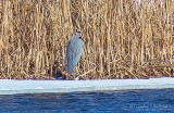 2019's First Great Blue Heron P1080516