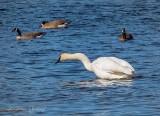 Contortionist Swan P1080545