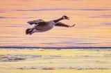 Goose In Flight At Sunrise P1080752