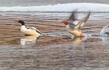 Common Merganser Pair Taking Flight P1090017