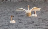 Stretching Swan P1090058