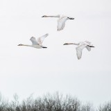 Three Swans In Flight P1090110