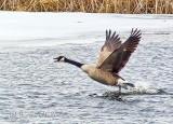 Goose Taking Flight P1090098