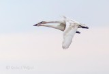 Two Swans In Flight P1090116