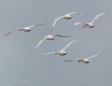 Departing Swans P1090128-30