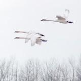 Three Swans In Flight P1090114