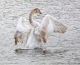 Swan Stretching P1090346