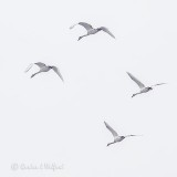 Four Swans In Flight P1090390