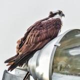 'Onlightened' Osprey P1090478