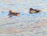 Wood Duck Pair P1090576