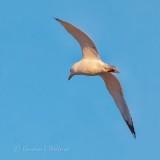 Gull In Flight P1090546