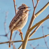 Song Sparrow Singing P1090603