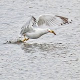 Gull With A Catch P1090429
