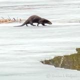 Otter On Ice P1090940