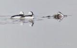 Two And A Half Bufflehead Ducks P1090995