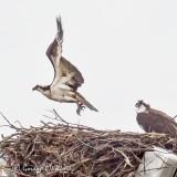 Osprey Taking Flight P1100026