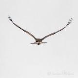 Osprey In Flight-Rear View P1100060