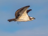 Osprey In Flight P1100089