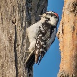 Male Downy Woodpecker P1100509