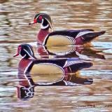 Two Male Wood Ducks P1100735