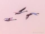 Three Swans In Flight At Sunrise P1100929