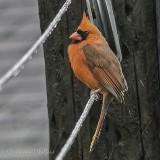 Cardinal On A Clothesline P1110216