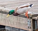 Dockside Duck P1110239
