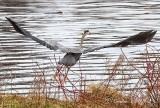 Heron Taking Flight P1110299