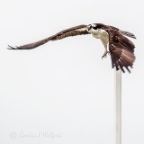 Osprey Taking Flight P1110414