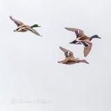 Ducks In Flight P1110674