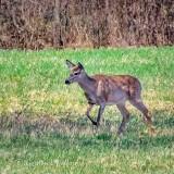 Deer In A Meadow P1110773