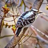 Downy Woodpecker P1110700