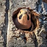 Mr Flicker In A Tree P1110857