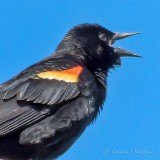 Red-winged Blackbird Calling P1110961