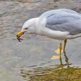 Gull With Crayfish P1120155