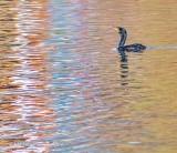 Cormorant Swimming Toward Reflections P1120349