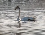 Swan Aswimming P1120445