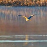 Heron In Flight P1120454-03