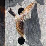 Tree Swallow Taking Flight P1120506-02