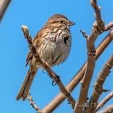 Silent Song Sparrow P1120807