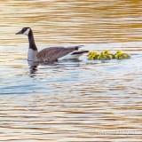 Goose & Goslings Swimming P1130081
