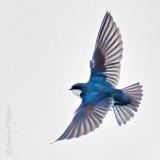 Swallow Taking Flight P1130001-02
