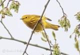 Yellow Warbler P1130002