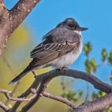 Eastern Kingbird P1130640