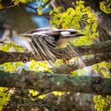 Downy Woodpecker In Flight P1130667
