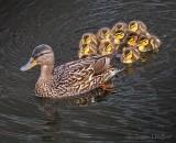 Mama Mallard & Ducklings P1130826