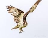 Osprey In Flight P1140070